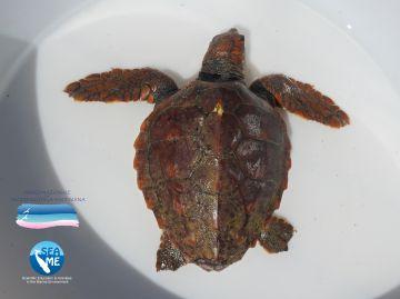 Un'altra tartaruga marina soccorsa nelle acque del Parco