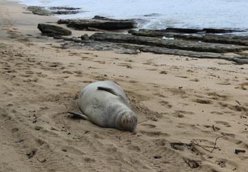 La foca monaca tornerà in Sardegna?