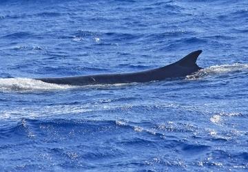 Avvistamento di due balenottere comuni (𝘉𝘢𝘭𝘢𝘦𝘯𝘰𝘱𝘵𝘦𝘳𝘢 𝘱𝘩𝘺𝘴𝘢𝘭𝘶𝘴)